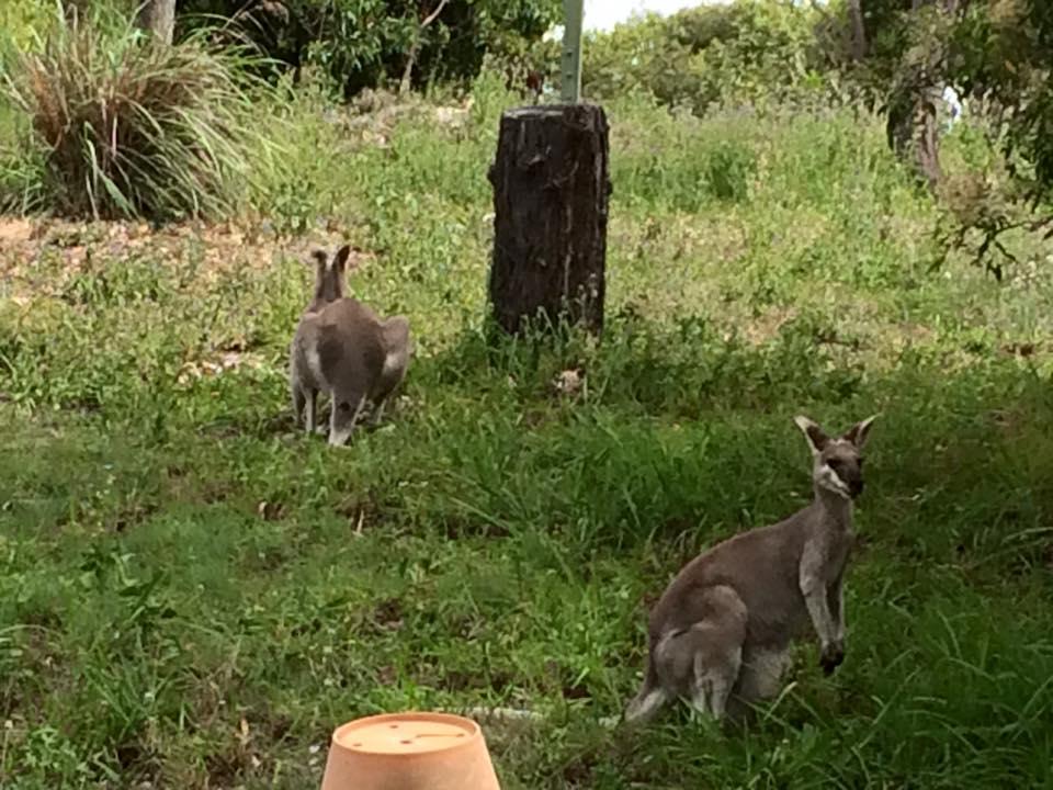 kangaroo sunbird gardens agnes water